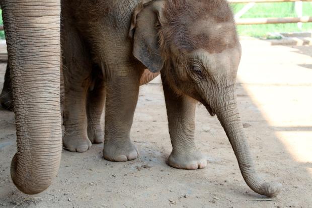 5 week old baby elephant