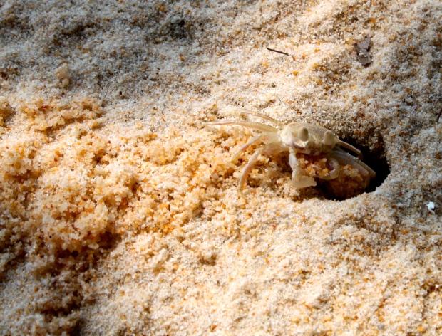 Crab on Koh Rong Samloem