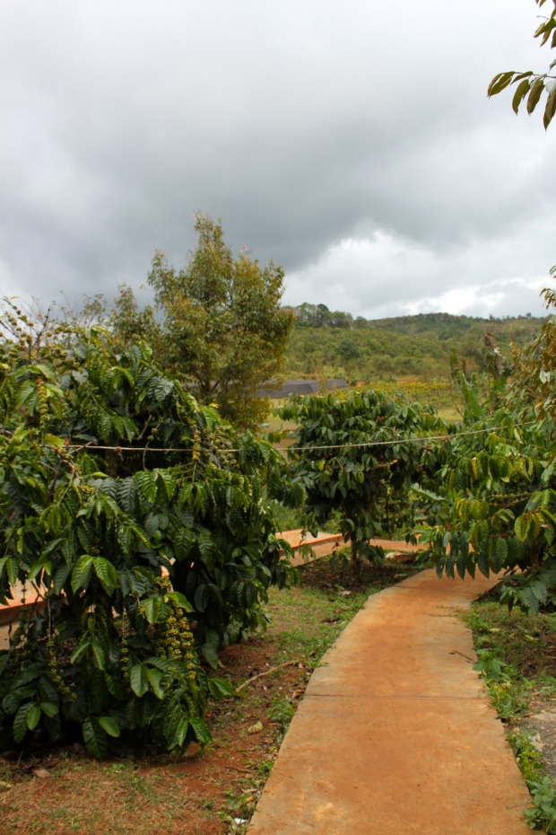 Coffee Plantation in Mondulkiri