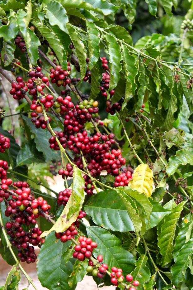 Coffee Trees in Mondulkiri