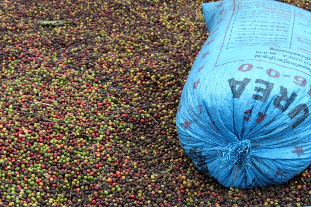 Drying coffee in Mondulkiri