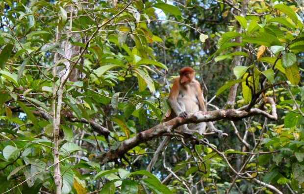Proboscis Monkey in the forest near Sukau
