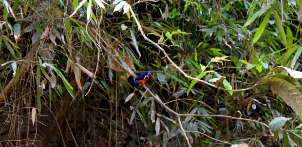Blue-eared Kingfisher on the banks of the Kinabatangan River