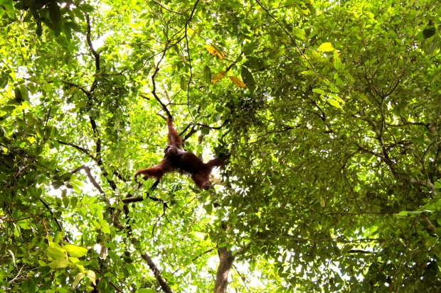 Wild orang-utan