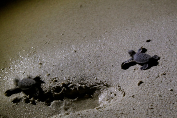 Baby turtles running across the sand