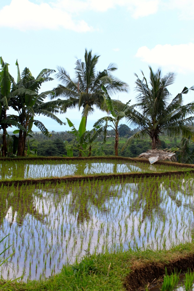 Rice fields in northern Lombok