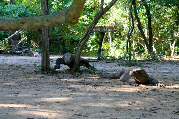 Komodo dragons on Komodo Island