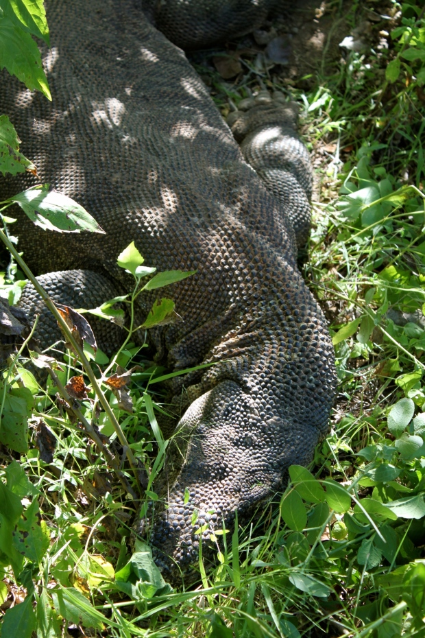 Sleeping Komodo dragon next to the path on Komodo Island