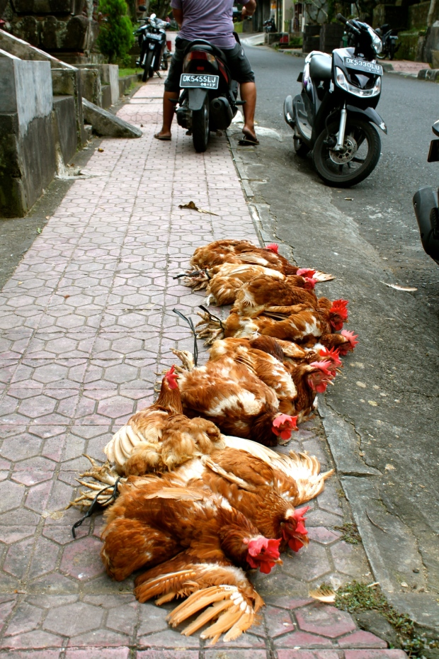 Chickens ready for the market in Ubud, Bali