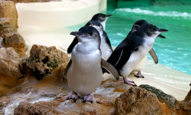 Little Penguins on Penguin Island, Rockingham, South Perth
