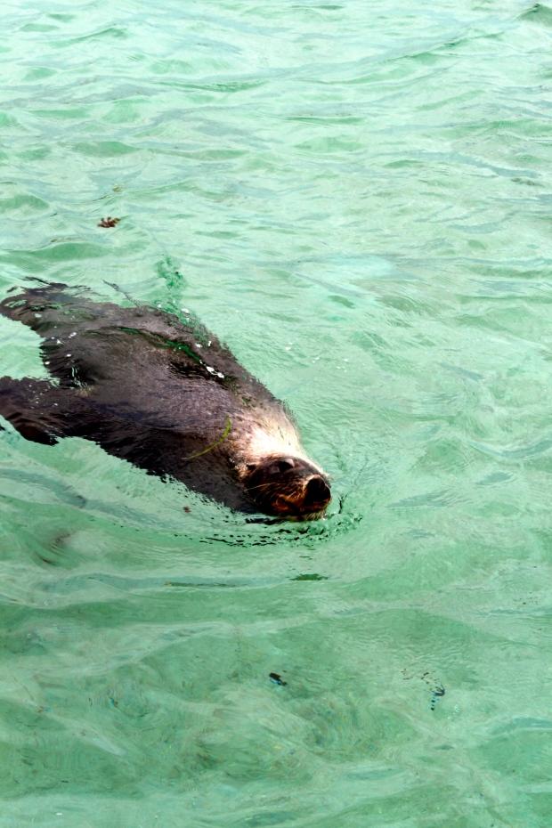 Sea Lion near Penguin Island, Rockingham, South Perth