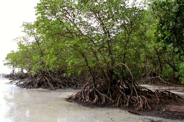 Mangroves on the beach at Cape Tribulation