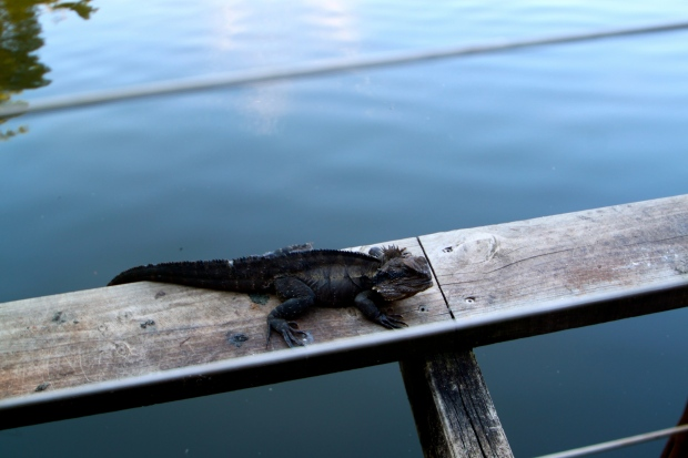 An Australian Water Dragon chilling at the Cedar Creek Winery in Tambourine National Park