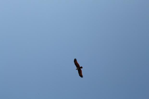 Brahminy Kite gliding overhead