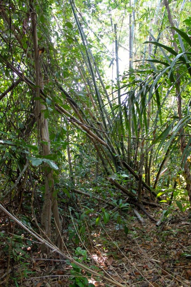 Bamboo trees on Bo Yar Nyant Island